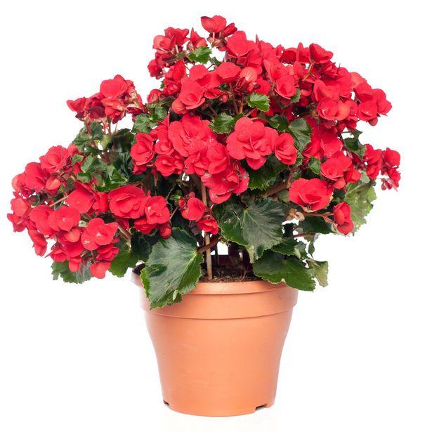 Begonia (Begonia elatior 'Betulia') D 19 H 25 cm offre à 9,99€