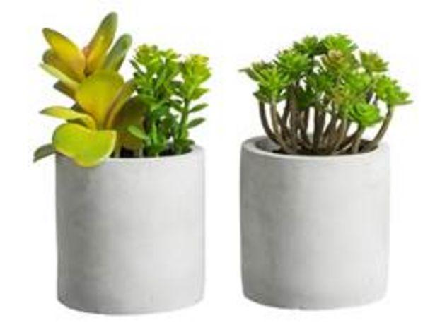 CEMENTINO Plant in pot groen H 14 cm; Ø 7,5 cm offre à 1,33€